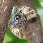 PODcast Owl butterfly at Wisley